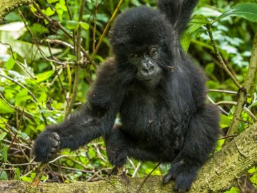 Encounter Gorilla Safaris in DR Congo