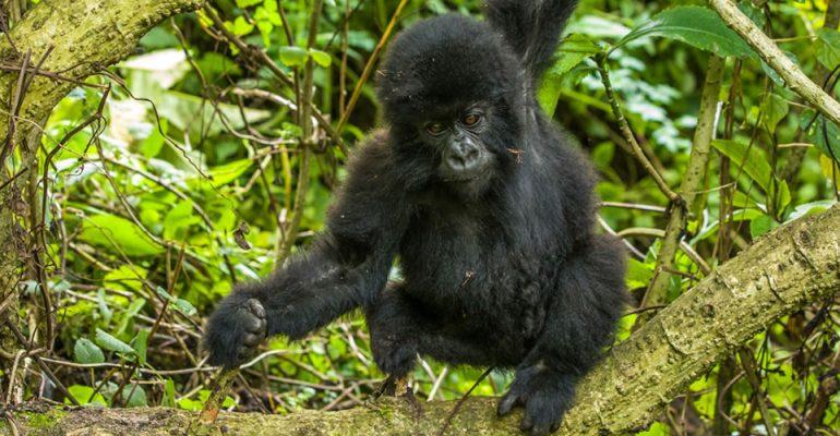Encounter Gorilla Safaris in DR Congo