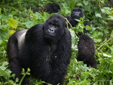 Gorilla Trekking in Virunga Conservation Area