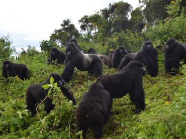 Double Gorilla Trekking in Congo