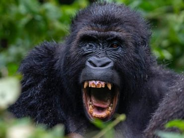 Luxury Gorilla Trek Rwanda and Congo